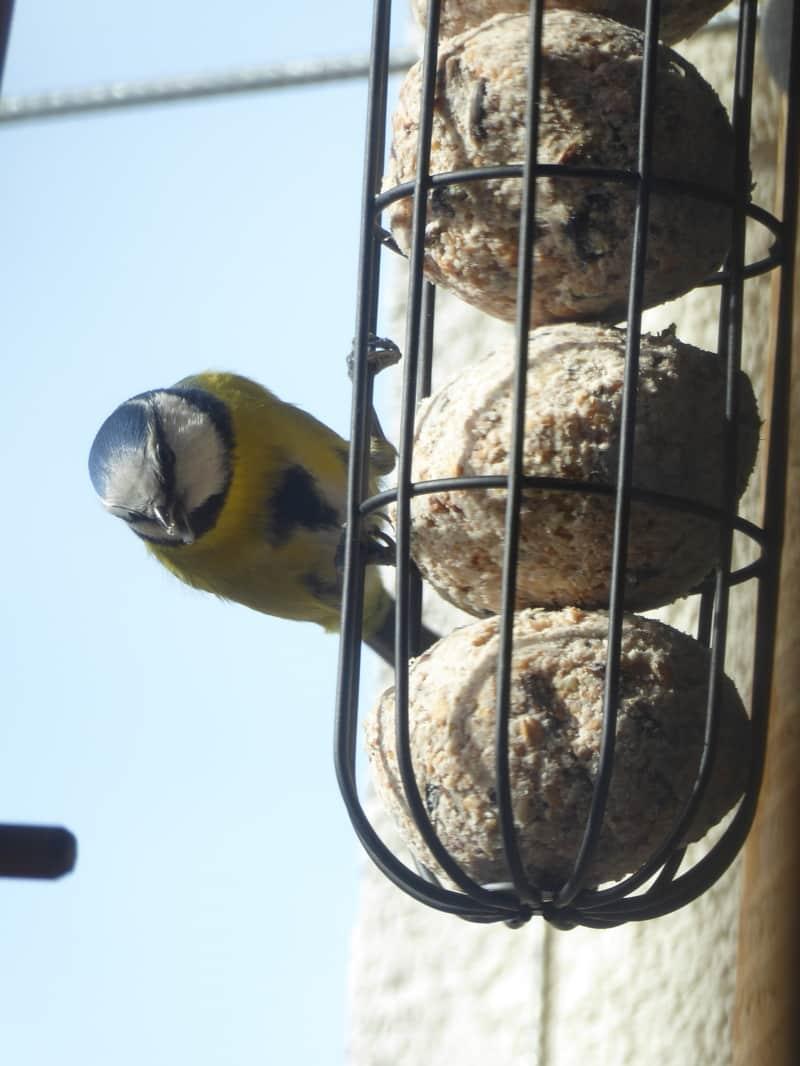 Ideal für die Vogelfütterung sind diese Meisenknödelhalter. So kann sich kein Vogel im Plastiknetz verfangen.