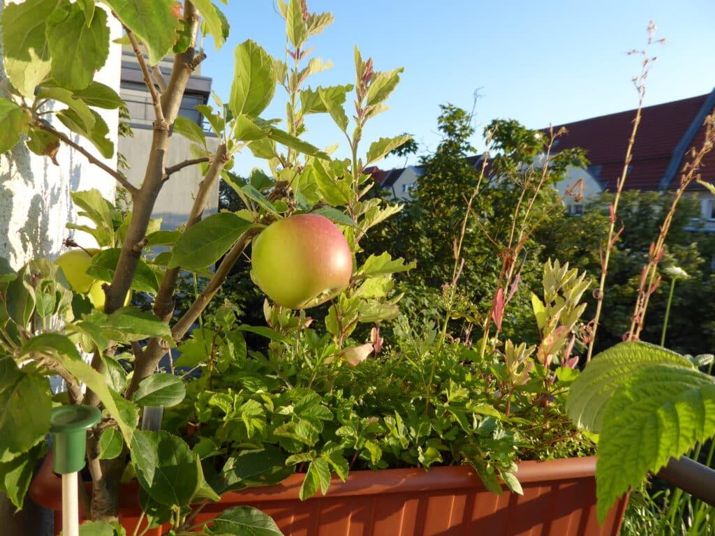 Wie schöne diese Äpfel vom Balkon leuchten.