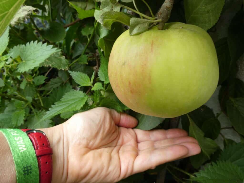 Manche Äpfel vom Balkon werden richtig riesig. Notwendig ist gute Düngung.