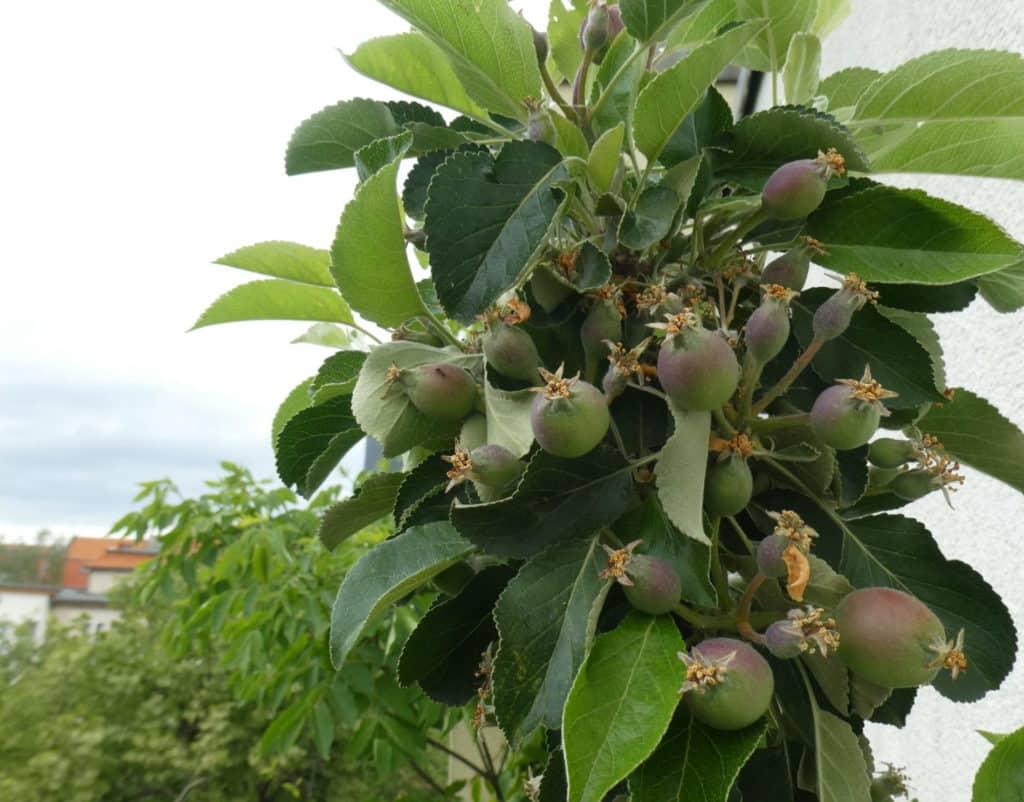 Bei Äpfel vom Balkon kommt auch der sogenannte Junifall zum Tragen. Die Bäume schmeißten die Früchte ab, die sie nicht ernähren können.