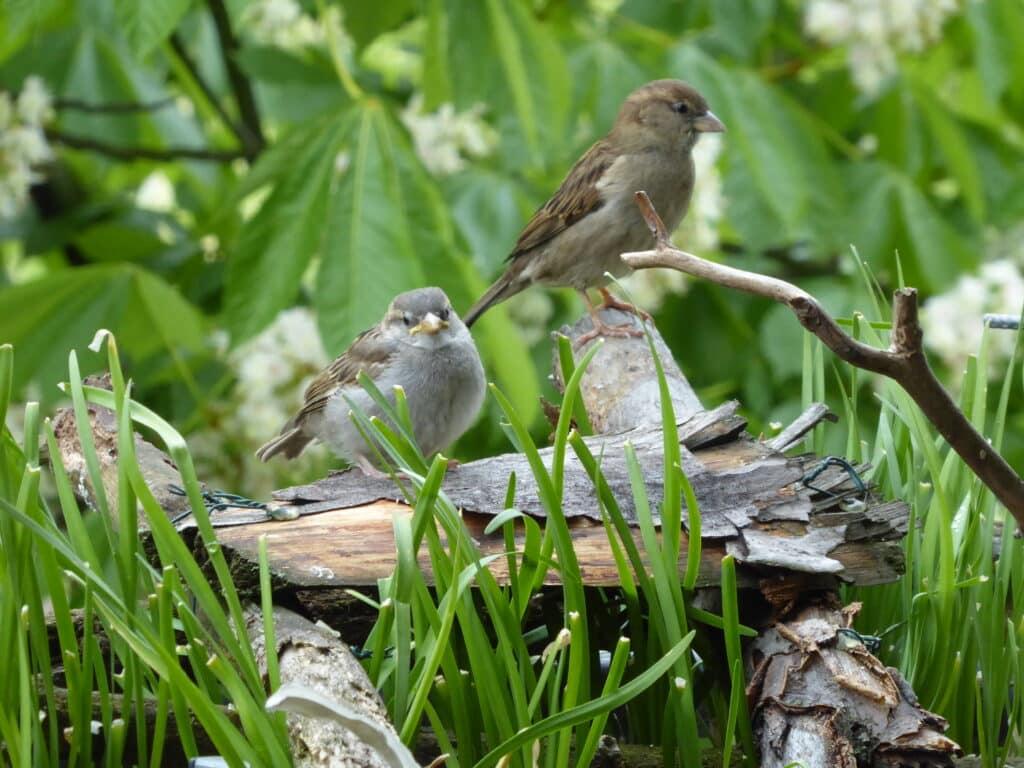Vögel lieben auf dem naturnah gestalteten Balkon herausstehende Äste. Zu gern sitzen sie dort. Wie hier die Haussperlinge.
