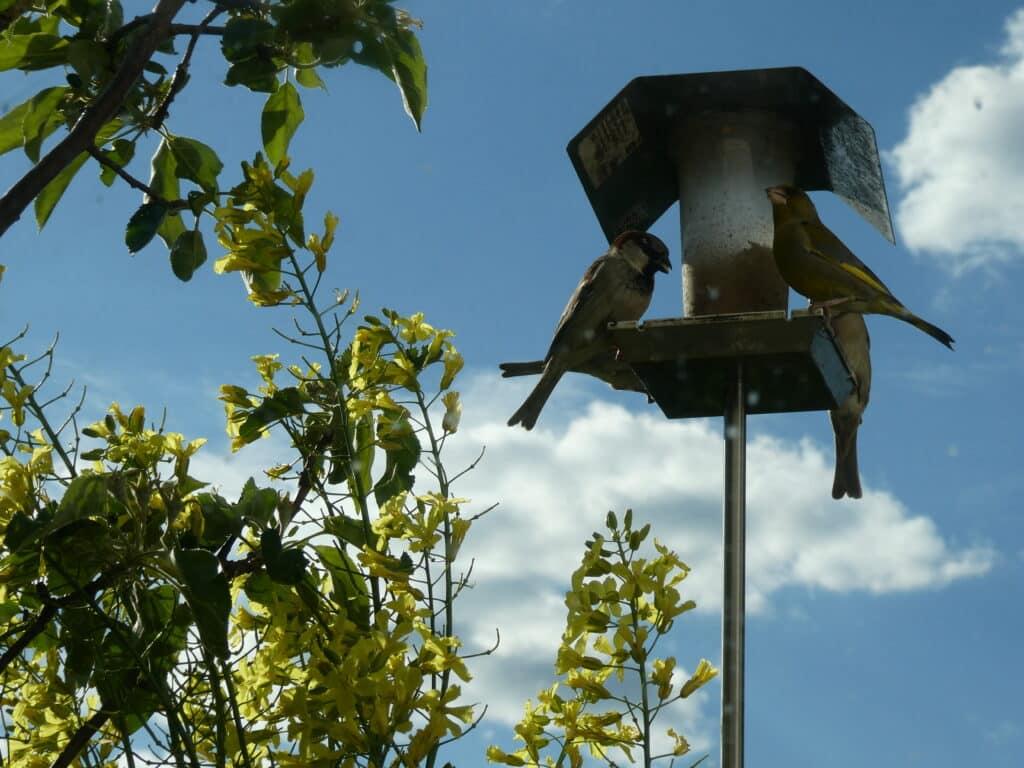 Futterstellen für Vögel auf dem Balkon befüllt man am besten mit geschälten Sonnenblumenkerne. Es fallen weniger Reste an, die herumliegen.