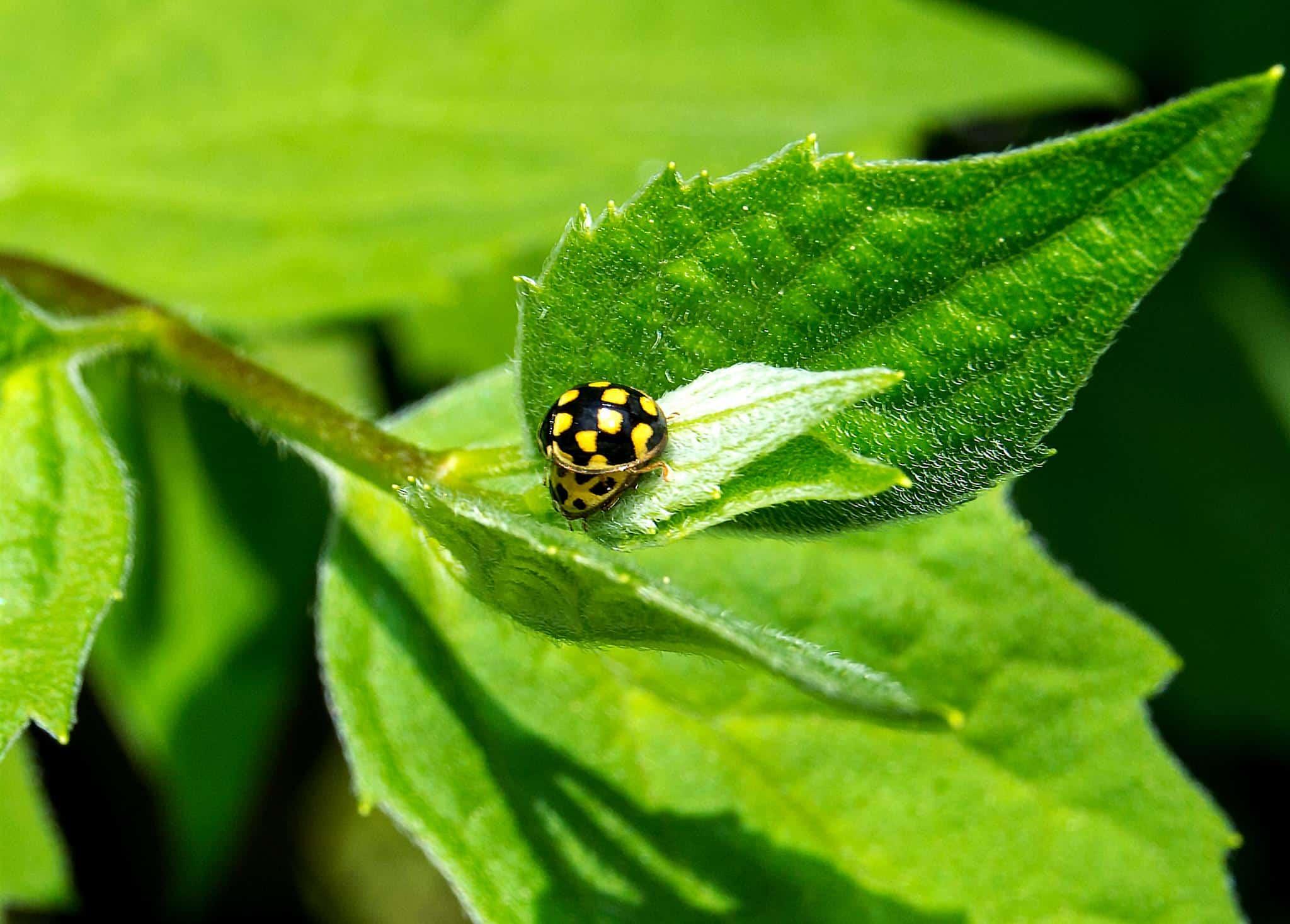 Marienkäfer sind nützlich. Auch dieser Zweiundzwanzigpunkt-Marienkäfer oder Pilz-Marienkäfer (unten-gelb mit schwarzen Punkten) und vom Trockenrasen-Marienkäfer (oben-schwarz mit gelben Punkten).