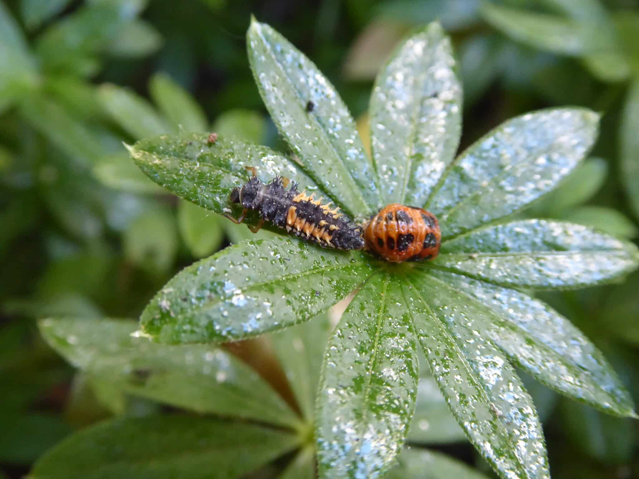 Marienkäfer sind nützlich. So sehen deren Larven (links), Puppen (rechts) aus. Das Klebrige, Glänzende auf dem Foto ist der Honigtau - Ausscheidungen der Blattläuse.