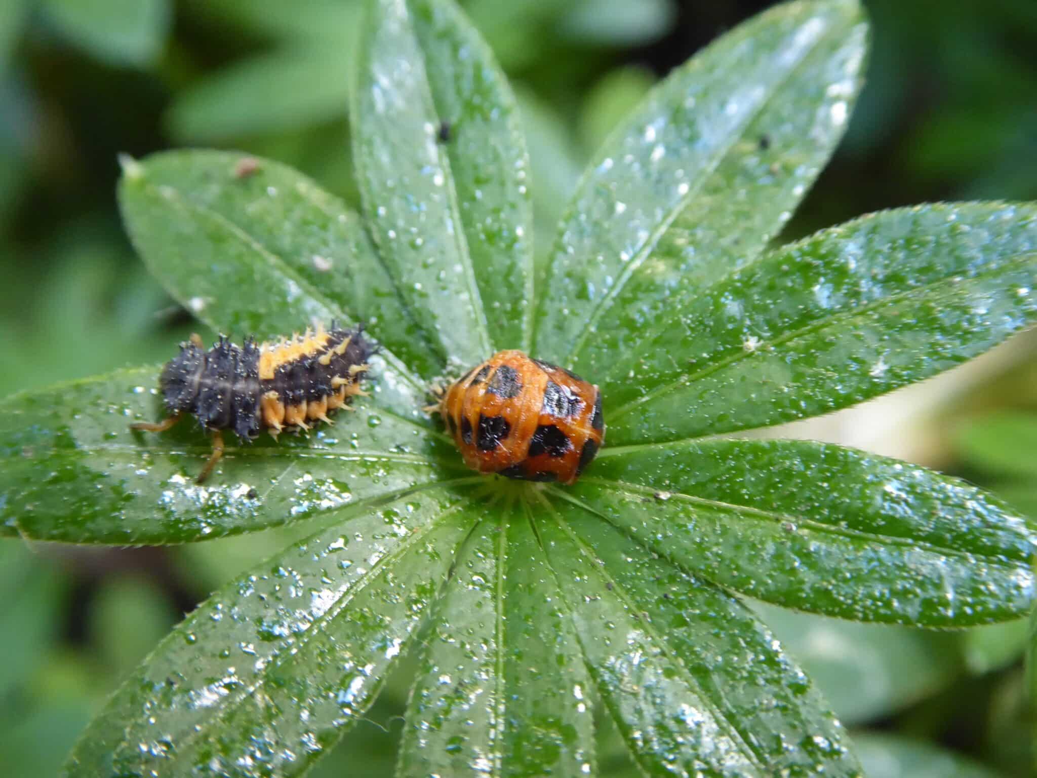 Marienkäfer sind nützlich. So sehen deren Larven (links) und Puppen (rechts) aus. Das Klebrige, Glänzende auf dem Foto ist der Honigtau - Ausscheidungen der Blattläuse.