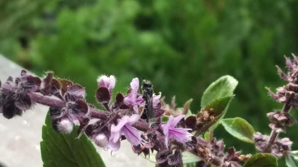 Das Strauch-Basilikum ist ein wahrer Insektenmagnet und schmeckt zudem sehr lecker. Es gehört auf jeden Balkon.