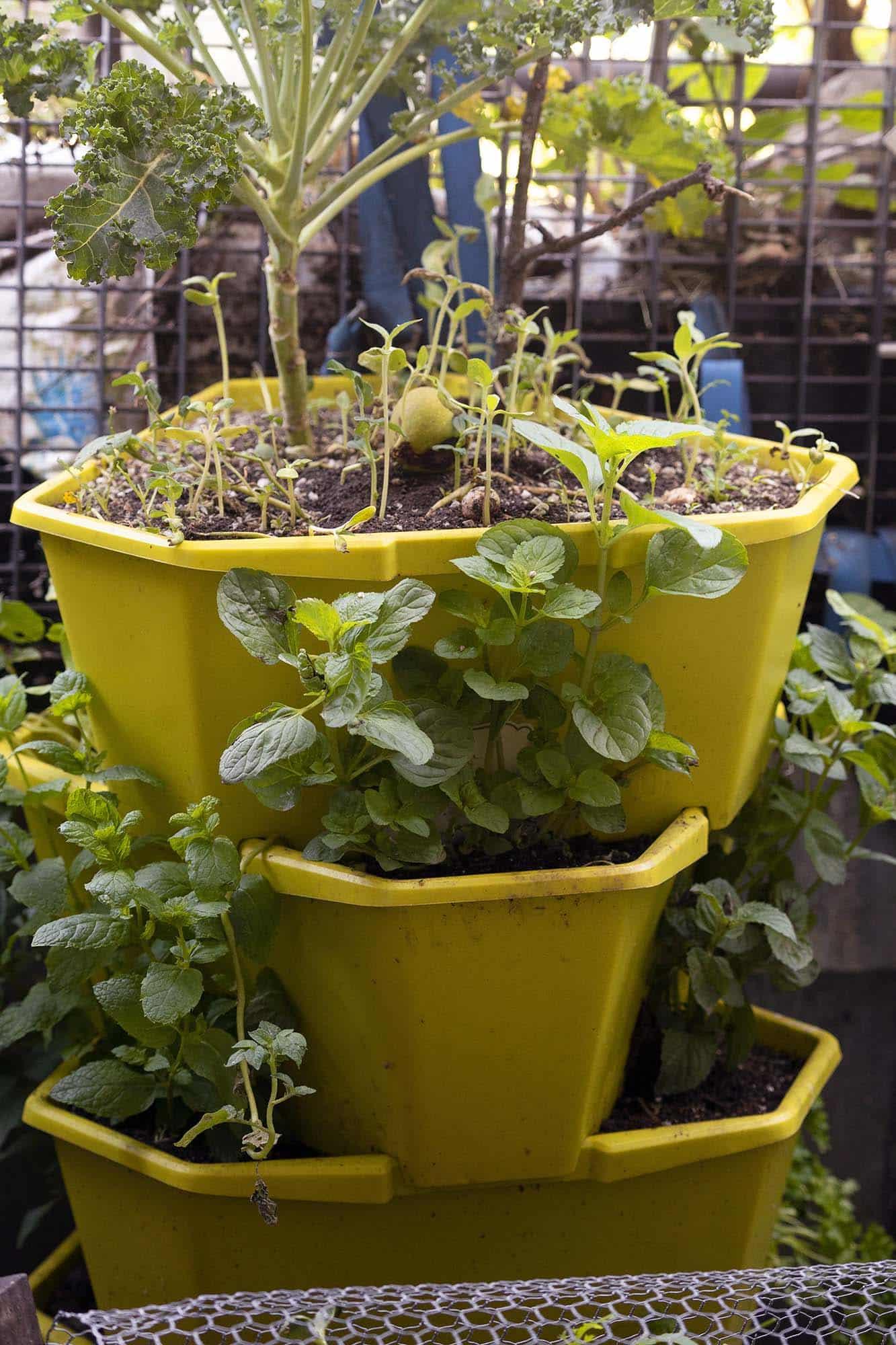 Heilpflanzen vom Balkon: Die wüchsige Minze.