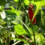 Beim Anbau von Paprika und Chili auf dem Balkon erleben wir eine riesige Vielfalt.