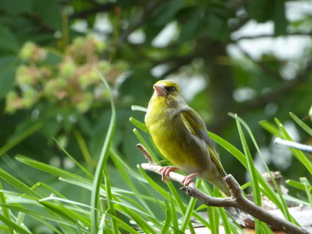 Vögel lieben auf dem Balkon herausstehende Äste. Zu gern sitzen sie dort. Wie hier der Grünfink.