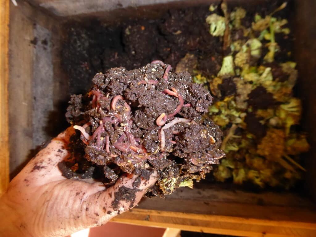 Wurmhumus ist bestens geeignet zum biologischen nachhaltigen Gärtnern. Oder als Grundlage für Komposttee. Es stinkt wirklich nicht aus der Wurmkiste. Wurmkompostierung verläuft geruchlos.