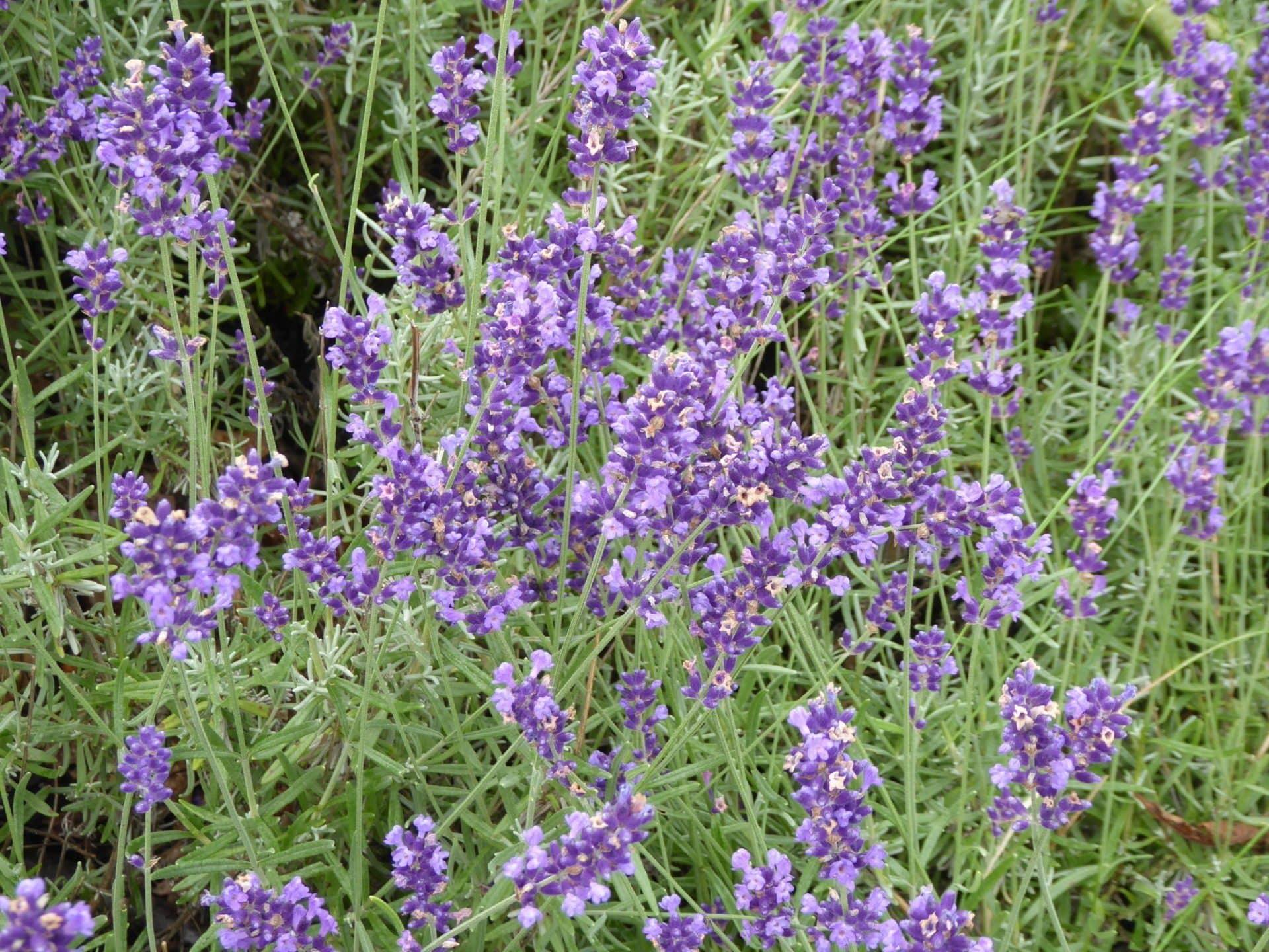 Sehr beliebt ist der Lavendel.