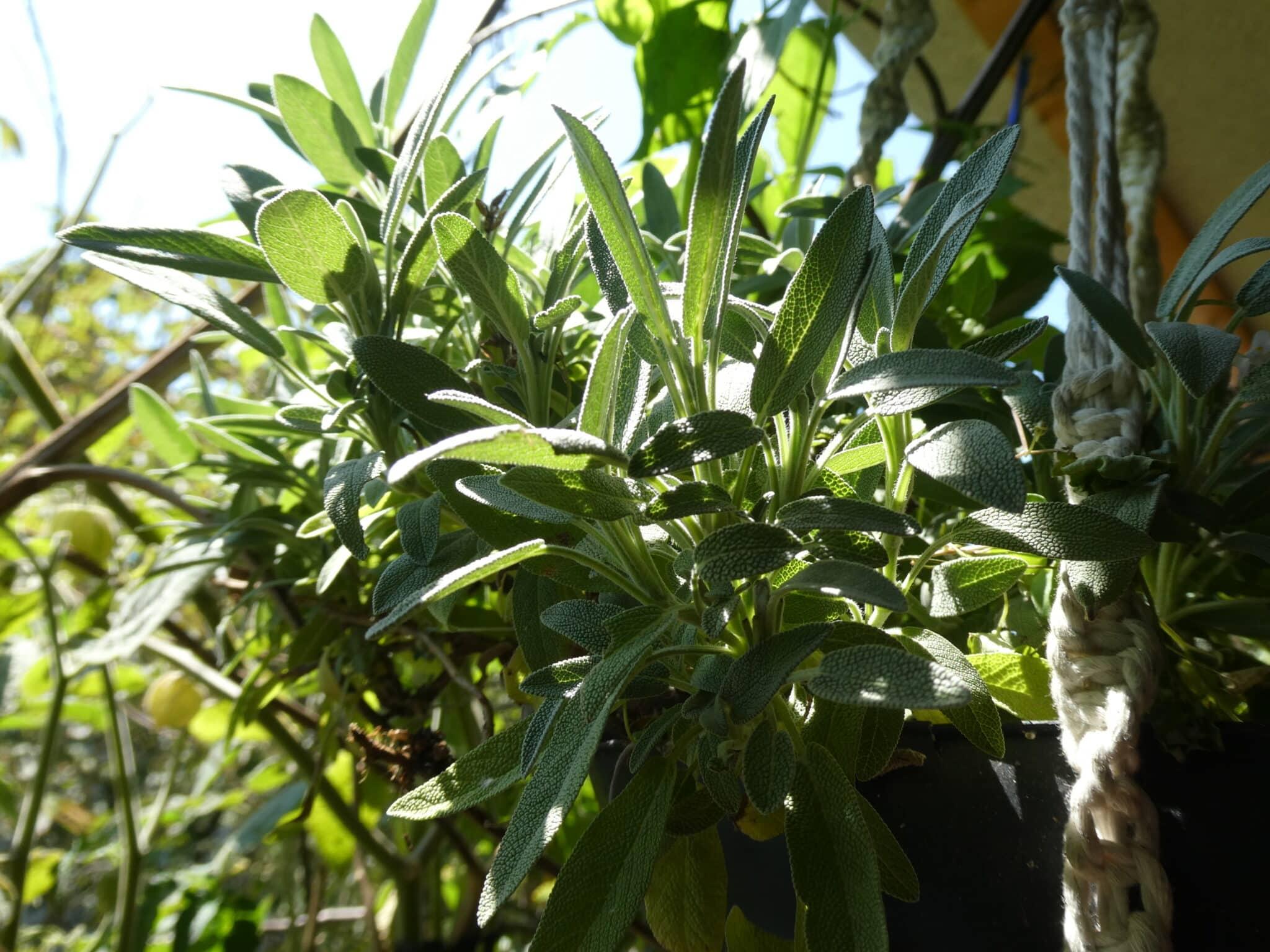 Heilpflanzen vom Balkon: Der Gewöhnliche Salbei.