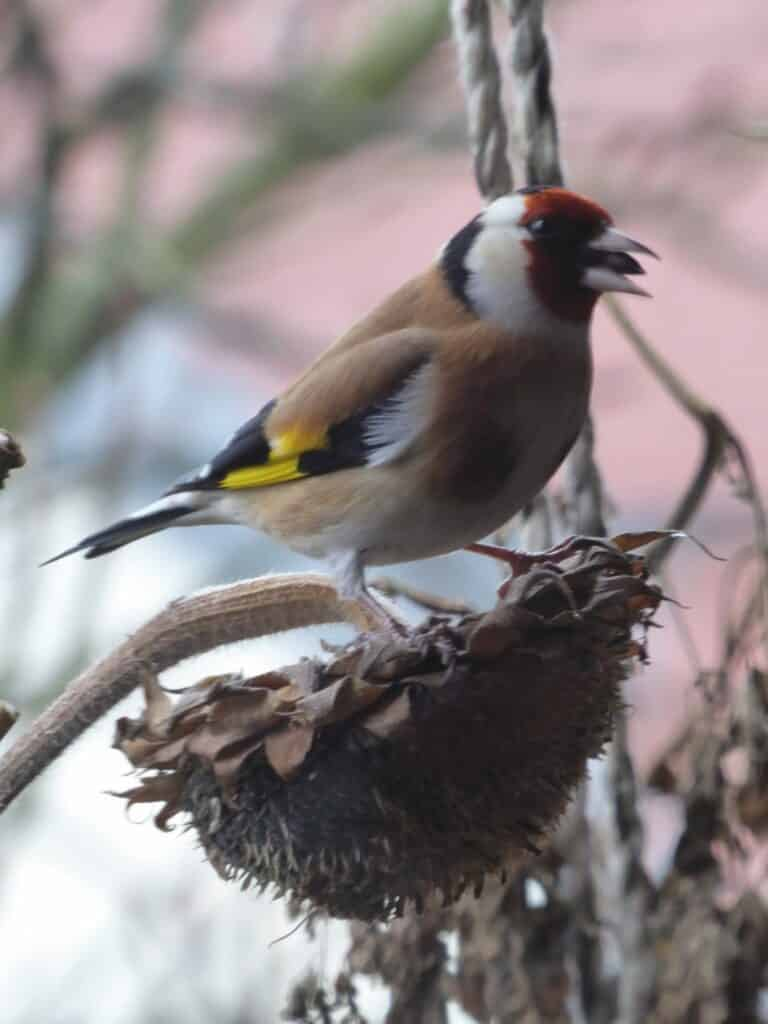 Der Stieglitz (Distelfink) sitzt auf dem Kopf einer Sonnenblume und wird sich die Samen herausholen.