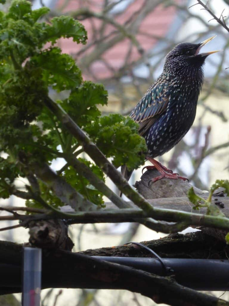 Auch der Star zeigt hier morgens kurz nach Sonnenaufgang, wie einladend für Vögel vom Balkon herausstehende Äste wirken.