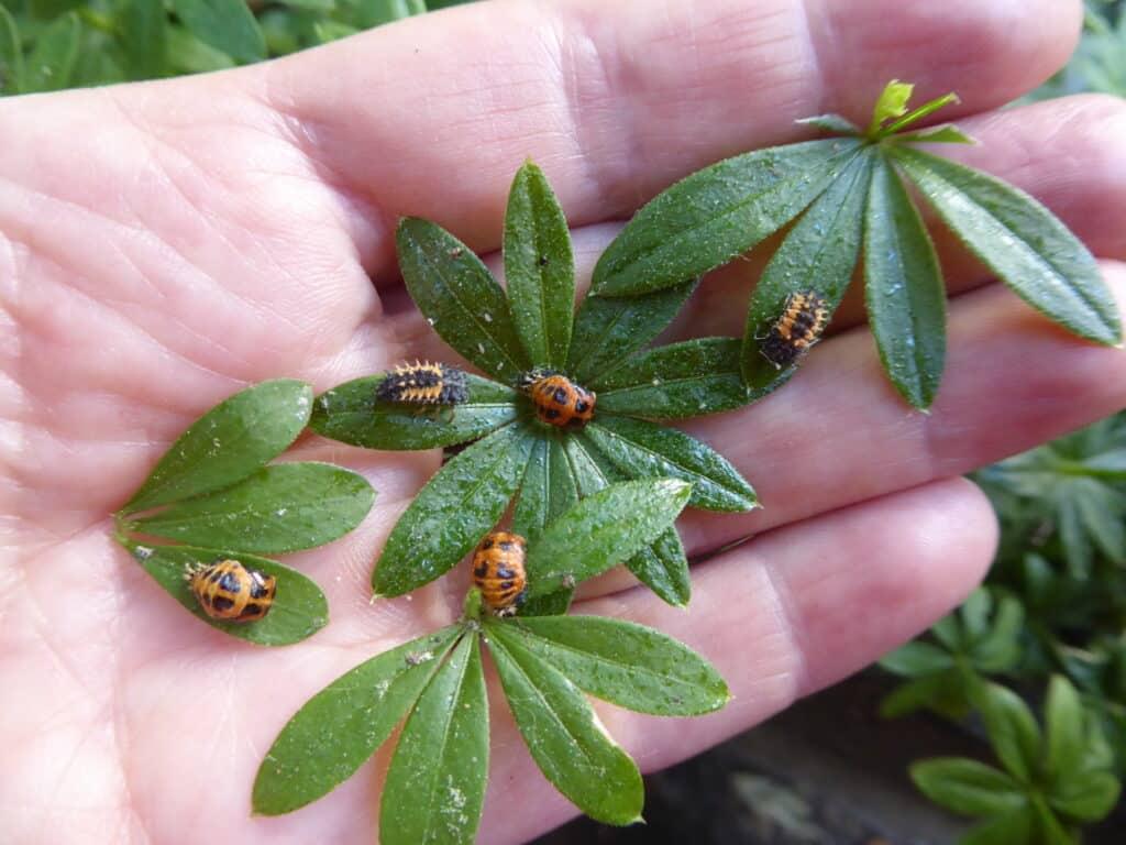 Habe beim Befall mit Blattläusen einen entspannten Zugang. Es werden Marienkäfer und Florfliegen kommen und diese vertilgen. Auch in der Stadt.