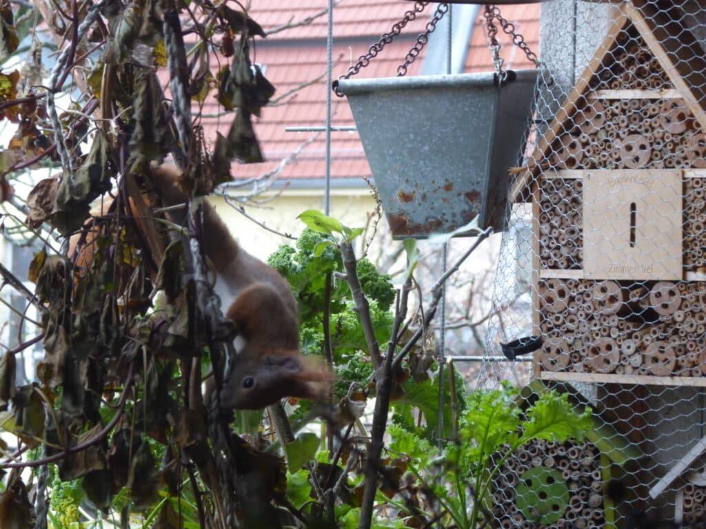 Hier versucht das Eichhörnchen auf dem Balkon Nistmaterial abzubeissen.