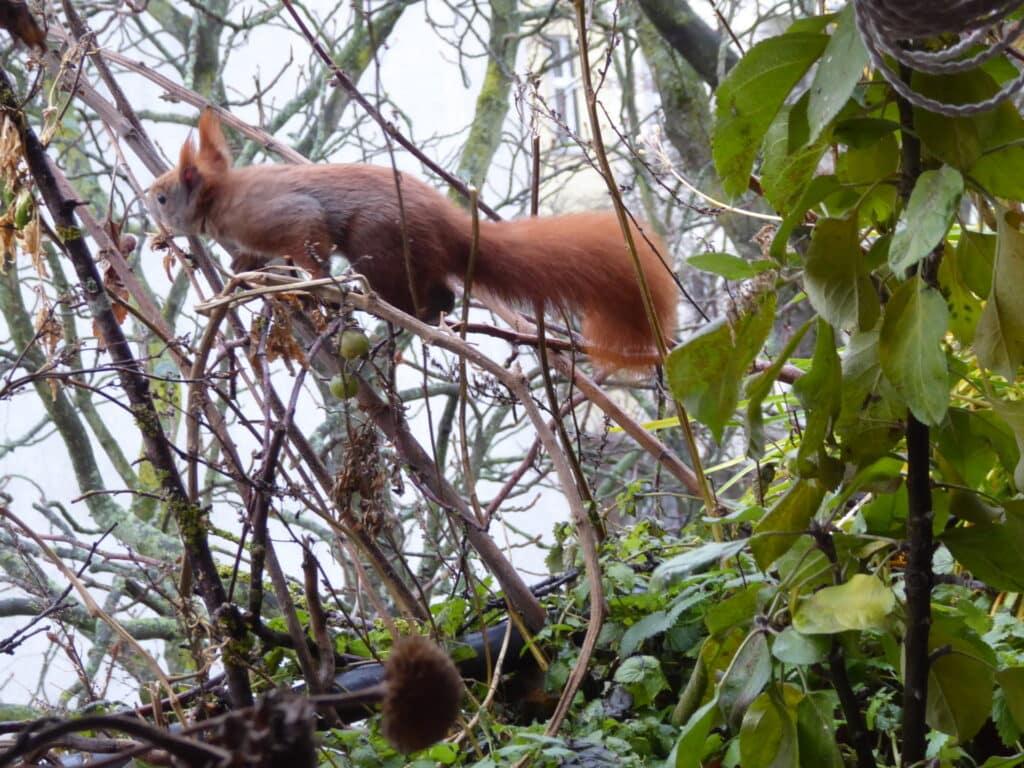 Ich beobachte mit solcher Freude das Eichhörnchen auf dem Balkon.