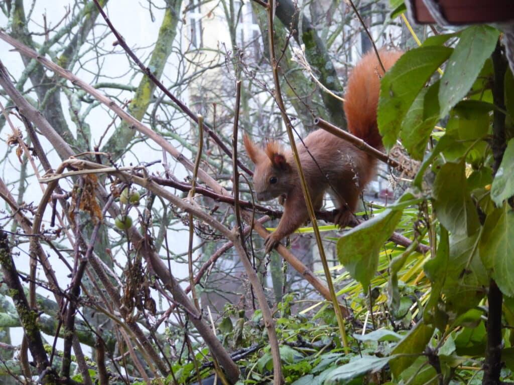Fast elegant klettert das Eichhörnchen auf den alten Zweigen auf dem Balkon.
