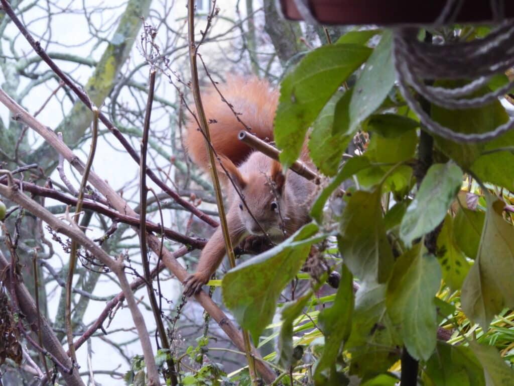 Herrlich dieses kletternde Eichhörnchen auf dem Balkon.