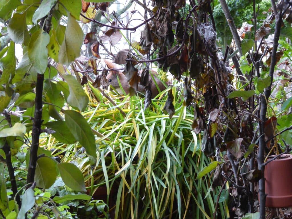 Eichhörnchen auf dem Bio-Balkon. Anfang Dezember fingen sie an, Pflanzenreste abzubeißen und sich daraus ein Nest zu bauen.