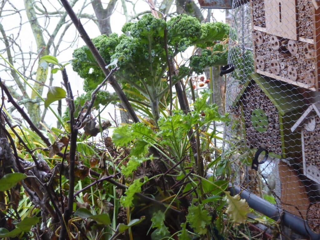Die Eichhörnchen suchten als Platz für ihren Schlafplatz auf dem Bio-Balkon eine Stelle unter einem Grünkohl aus. So hat das Nest bei Regen ein Dach über.