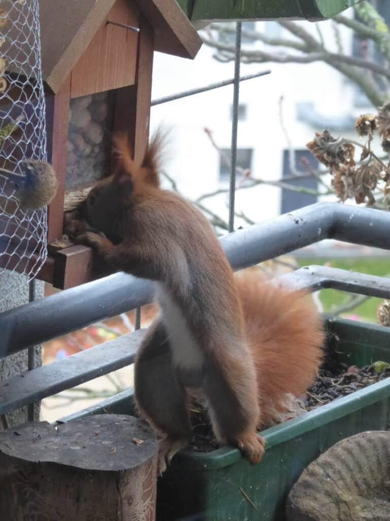 Eichhörnchen Ruth holt sich Haselnüsse aus der Nuss-Bar.
