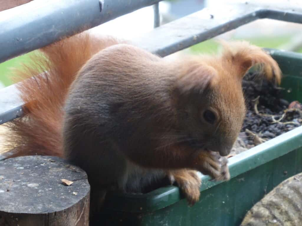 Eichhörnchen Ruth sitzt auf dem Balkonkasten und frisst Haselnüsse.
