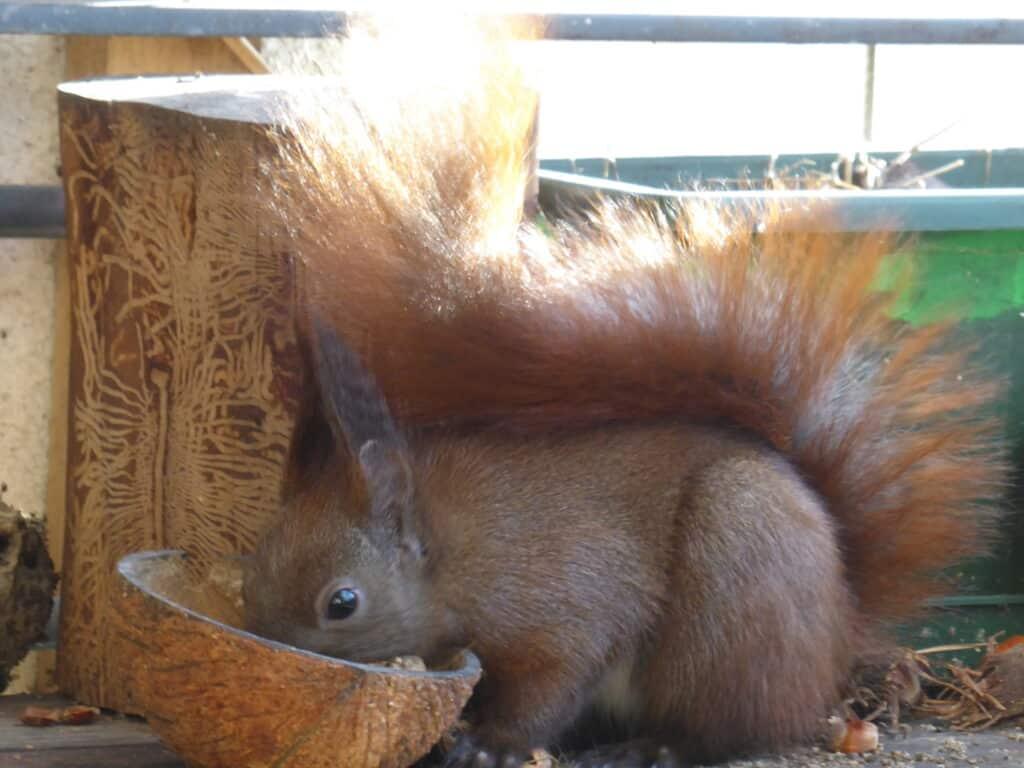 Eichhörnchen Ruth frisst auch gern das Fettfutter, was für die Meisen gedacht ist. Eichhörnchen und Meisen teilen sich das Futter.