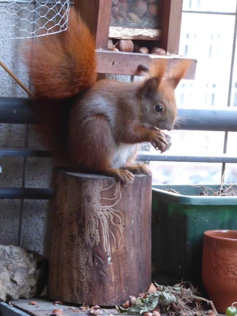 Eichhörnchen Ruth sitzt auf einem Baumstumpf und frisst Haselnüsse.