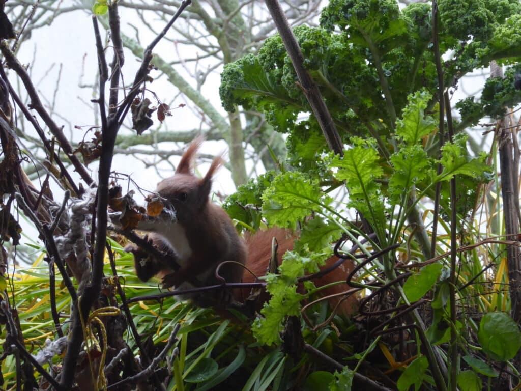 Dieses Eichhörnchen findet auf dem Balkon Baumaterial für seinen Kobel.