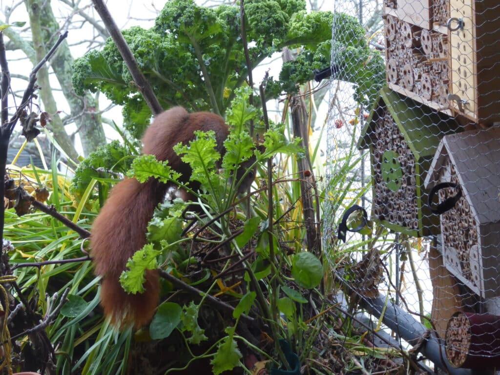 Hier bringt das Eichhörnchen auf dem Balkon feine abgezerrte Reste der Schnur in seinen neuen Kobel.
