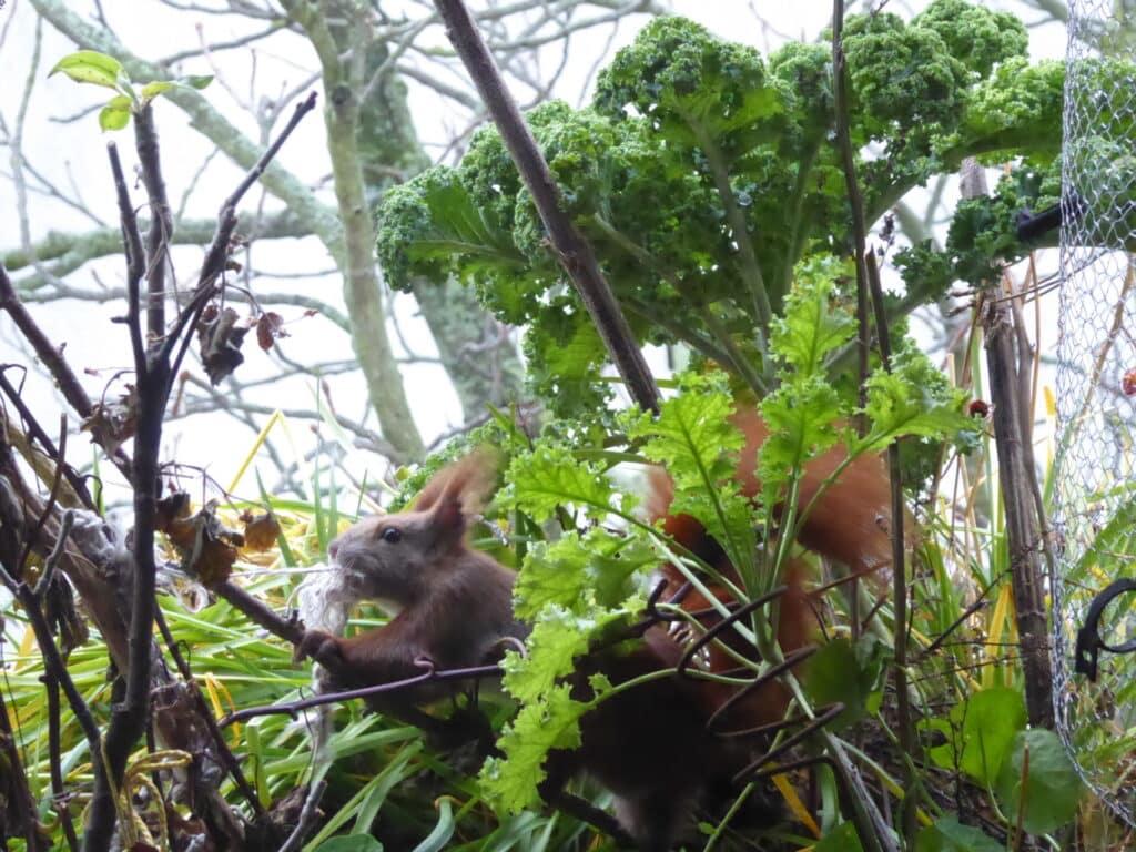 Das Eichhörnchen kämpft auf dem Balkon fast mit der Schnur, die es als Auspolsterung für seinen Kobel haben möchte.