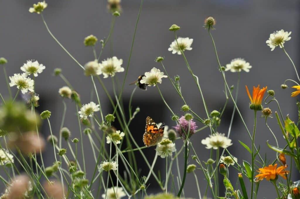 Wunderschön blühend, pflegeleicht, Insekten-anziehend. Stadtgärtnern Steffie empfängt Schmetterlinge, Hummeln und andere Wildbienen auf ihrem kleinen Balkon.