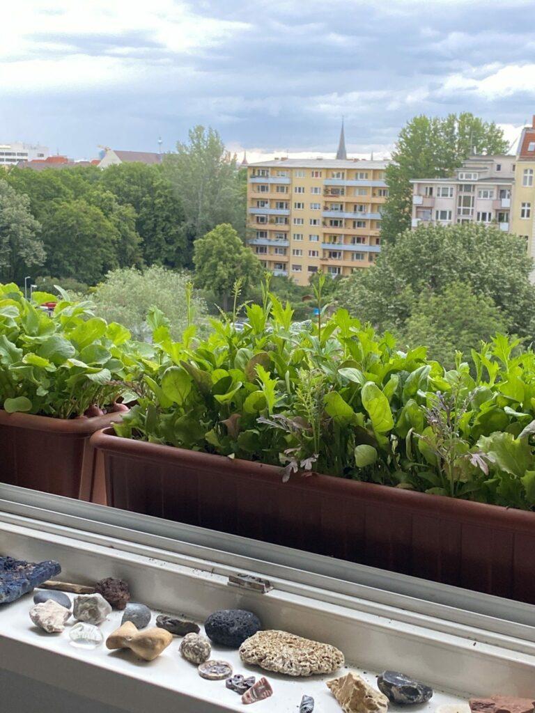 Bio-Radieschen vom Fensterbrett. Mitten in der Stadt Berlin.