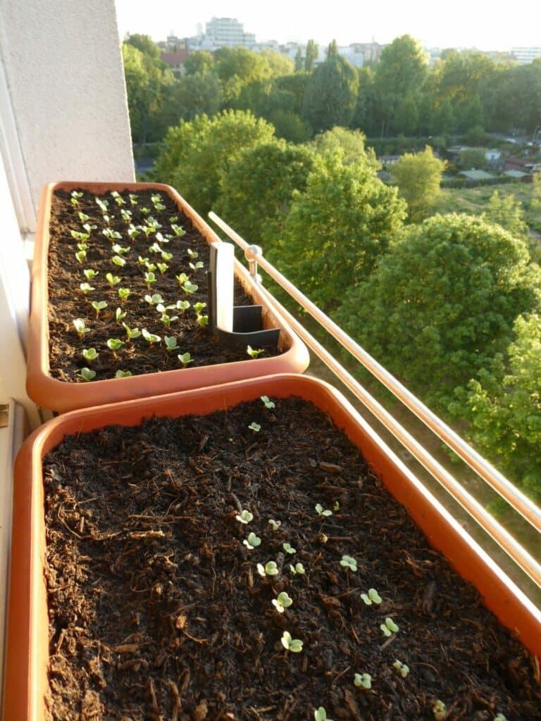 Selbstversorgung vom Fensterbrett mit frischen Radieschen in Bio-Qualität.