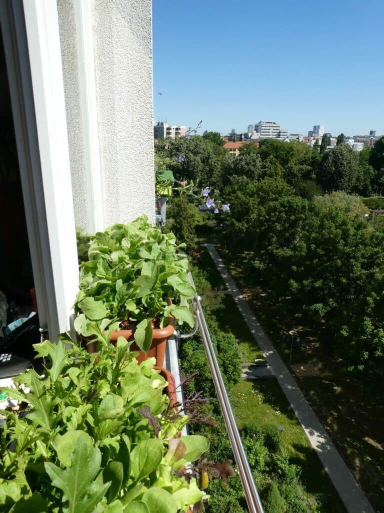 Werde Selbstversorger mit Radieschen. Der Anbau auf dem Fensterbrett im Balkonkasten funktioniert.