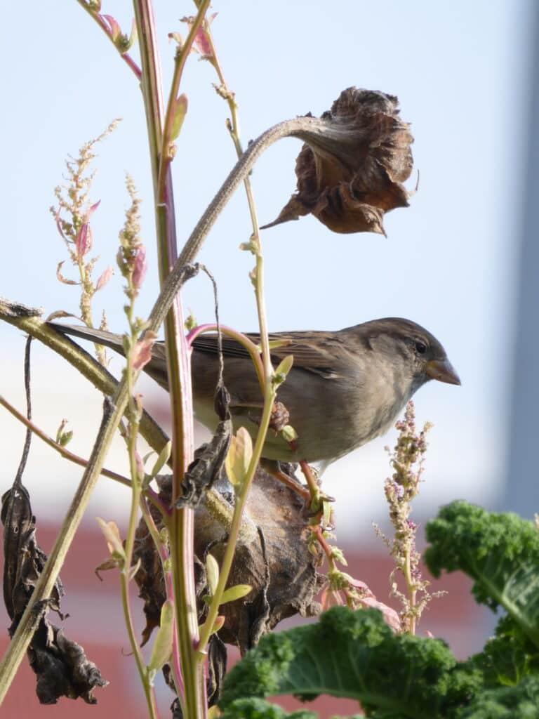 Die vertrockneten Samenstände verbleiben als Wintervorbereitungen auf dem Balkon. Sie werden nicht zurückgeschnitten. Die Sperlinge naschen so gern am Baumspinat und den Sonnenblumen.