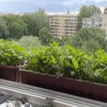 Mit zwei Balkonkästen starten: Radieschen und Salat