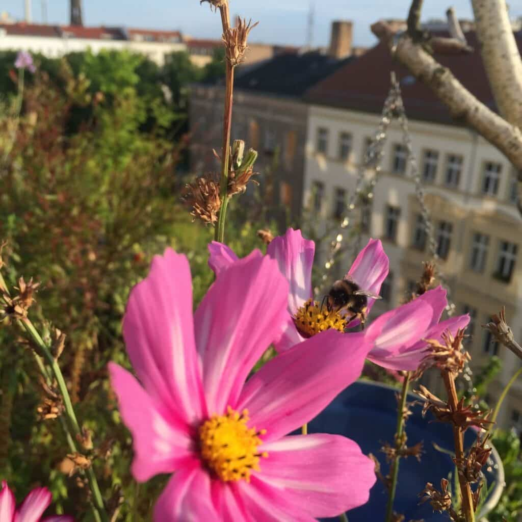 Tipps für einen wunderschönen, pflegeleichten Insekten und Tiere anziehenden Balkon, Cosmea Balkon, Schmuckkörbchen Balkon, Schmuckkörbchen Balkongarten