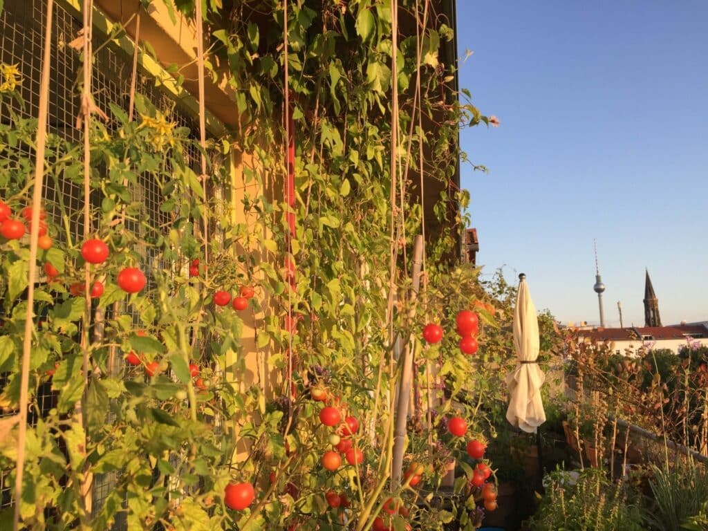 Tomaten Balkon, tomaten Balkongarten, Selbstversorgung