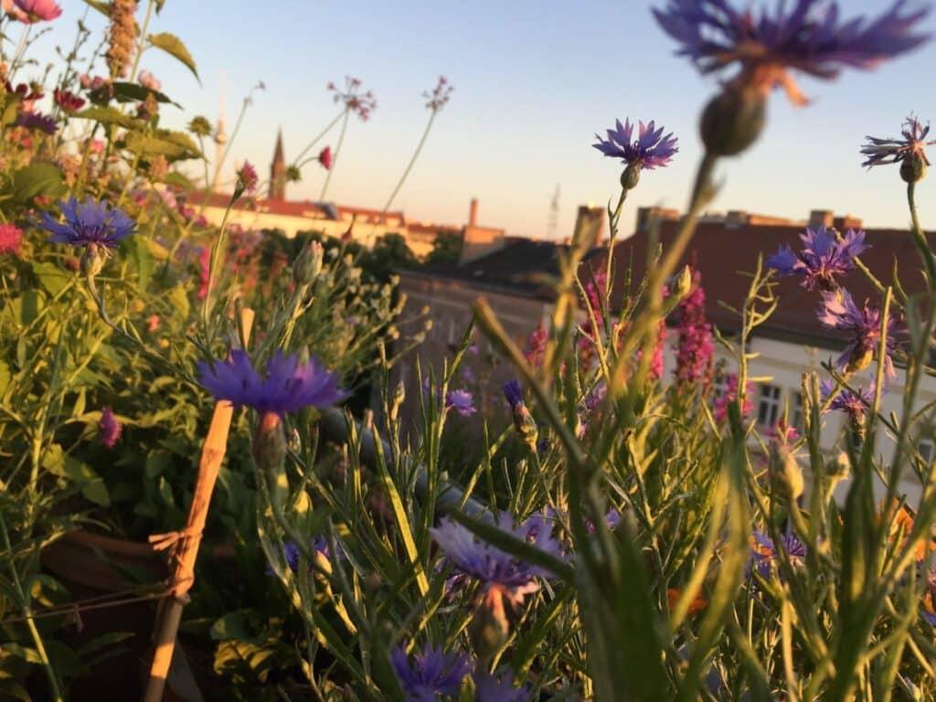Tipps für einen wunderschönen, pflegeleichten Insekten und Tiere anziehenden Balkon, Kornblume Balkon, Kornblume Balkon, Kornblume Balkongarten