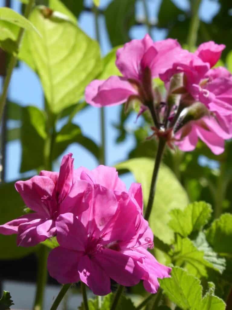 Meine Duftpelargonienpflanzen begleiten mich schon ca. 12 Jahre. Sie überwintern drin.