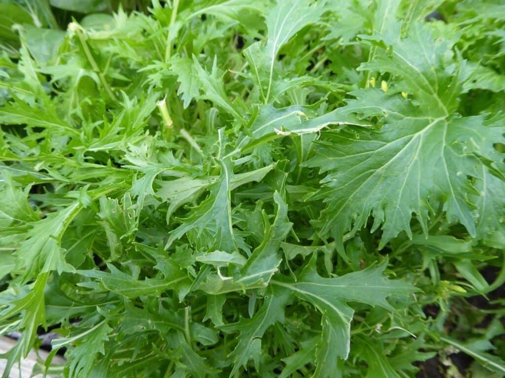Asia-Salat Mizuna verträgt bis -15 Grad Celsius. Es sind keine weiteren diesbezüglichen Wintervorbereitungen auf dem Balkon zu treffen. Es wird laufend geerntet.