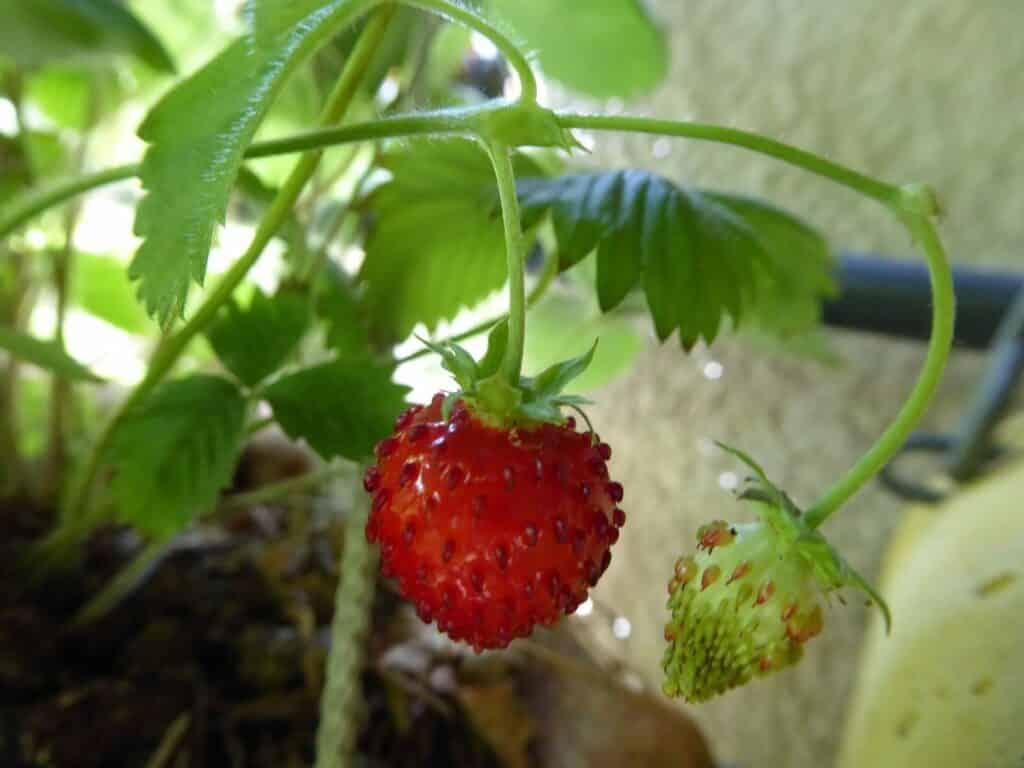 Im August sollten Ableger von Erdbeeren gesetzt werden.