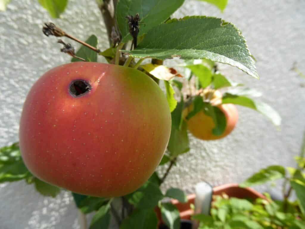 Äpfel vom Balkon - hier richtige Bio-Äpfel.