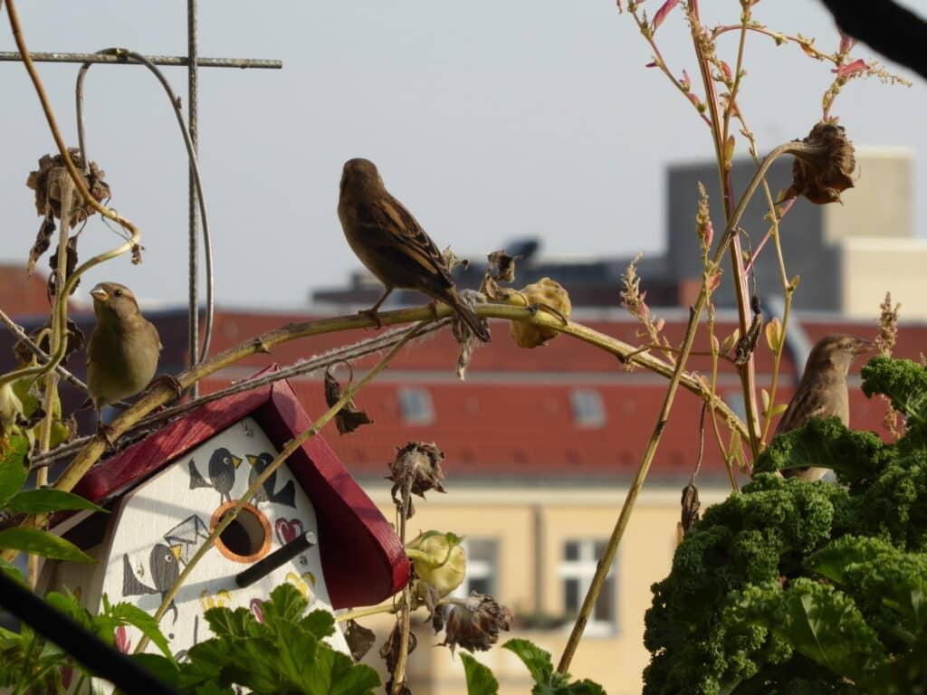 Vögel lieben auf dem Balkon herausstehende oder hochstehende Äste, Pflanzen, Bäume.  Hier sitzen Sperlinge auf Stielen der Sonnenblumen.