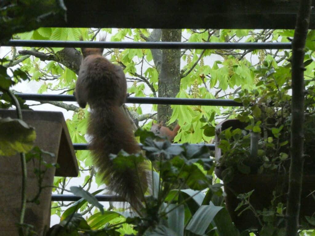 Eichhörnchen Mama sitzt schon auf dem Balkon und ermuntert ihr Jungtier zum Herüberspringen.
