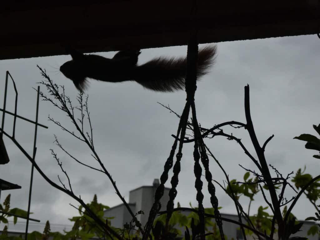 Die jungen Eichhörnchen beklettern den gesamten Balkon. Sogar an der Decke klettern sie entlang.