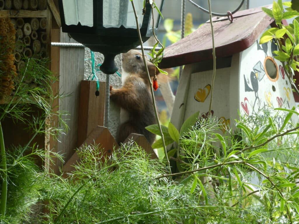 Die jungen Eichhörnchen klettern die Wände entlang. Das ist so herrlich anzusehen.