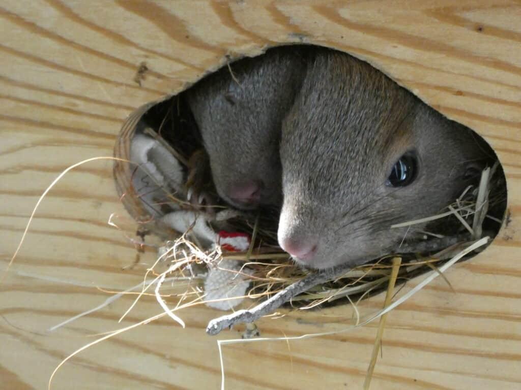 In dieser Holzkiste aus dem Baumarkt wohnen die jungen Eichhörnchen.